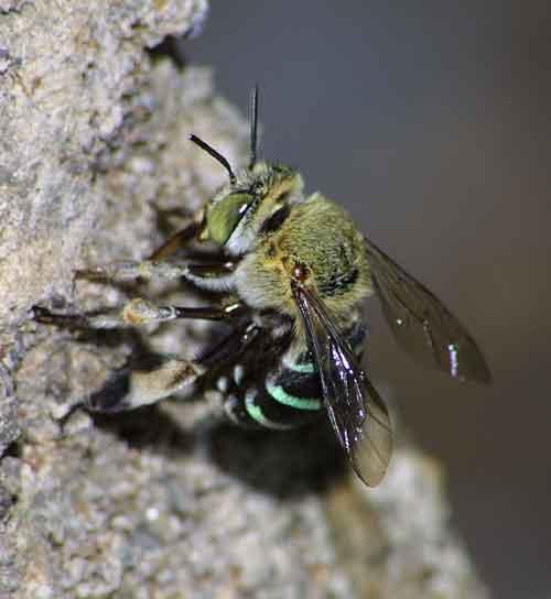 Apidae genus Amegilla 2