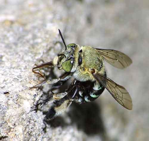 Apidae genus Amegilla 3