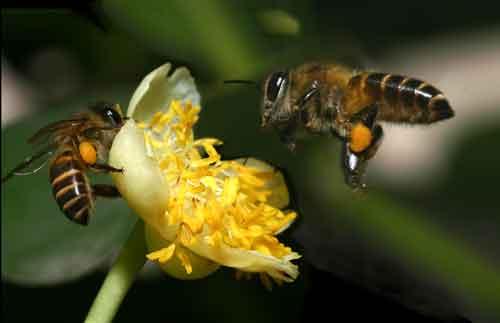 Apidae 3