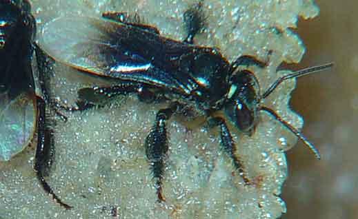 Apidae 6