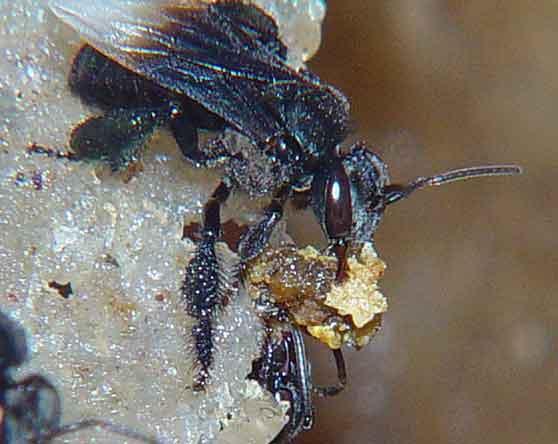 Apidae 7
