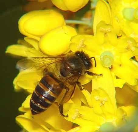 Apidae 8