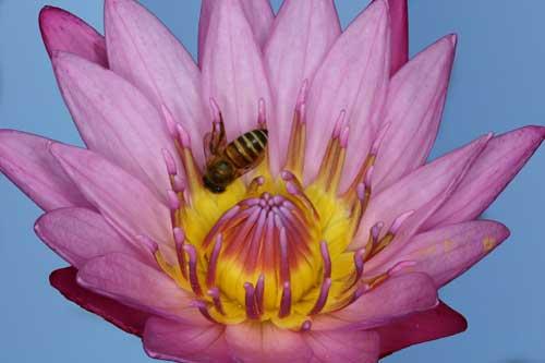 Apidae 9