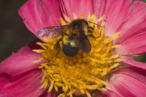 Apidae 10