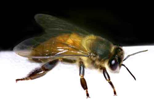 Apidae 11