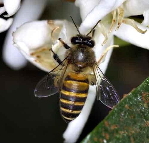 Apidae 12