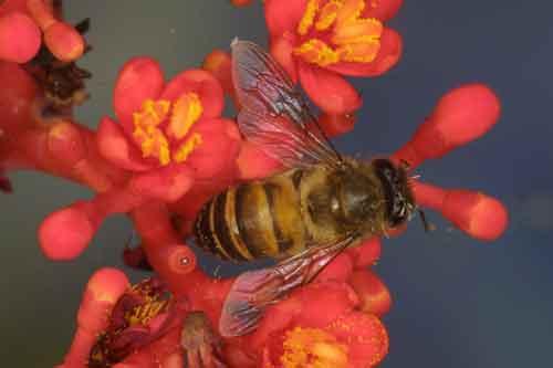 Apidae 13
