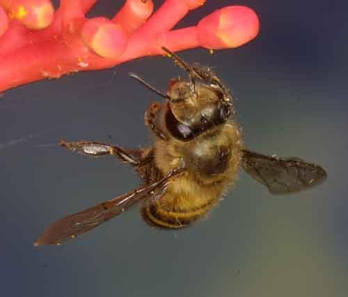 Apidae 14
