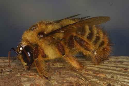Apidae 15