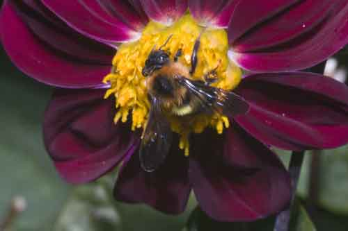 Apidae 16