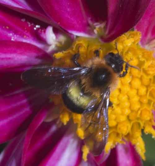 Apidae 17