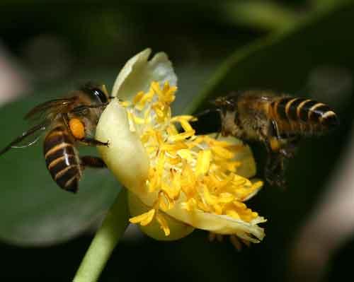 Apidae 19