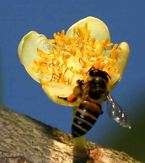 Apidae 20