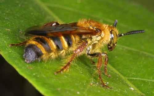 Apidae 22