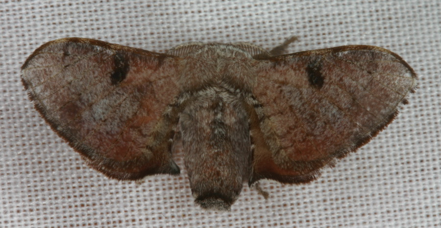 Trilocha varians 1