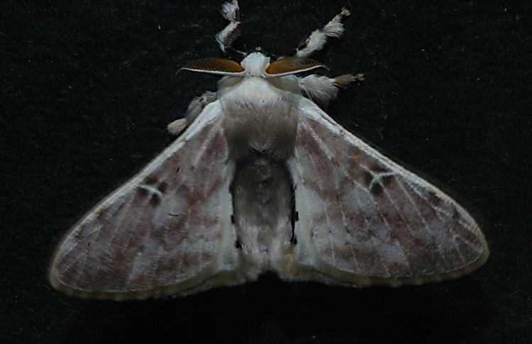 unidentified Bombycidae 2