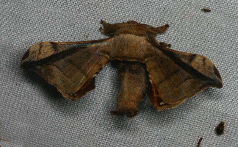 unidentified Bombycidae 4