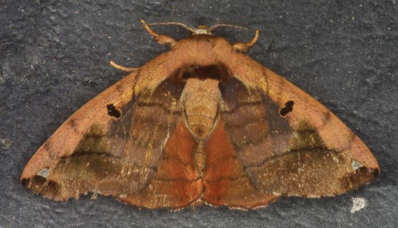 unidentified Bombycidae 8