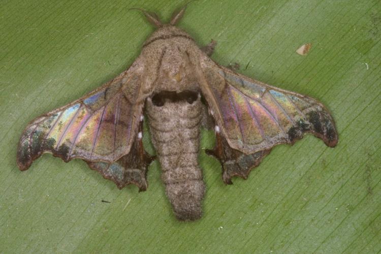 unidentified Bombycidae
