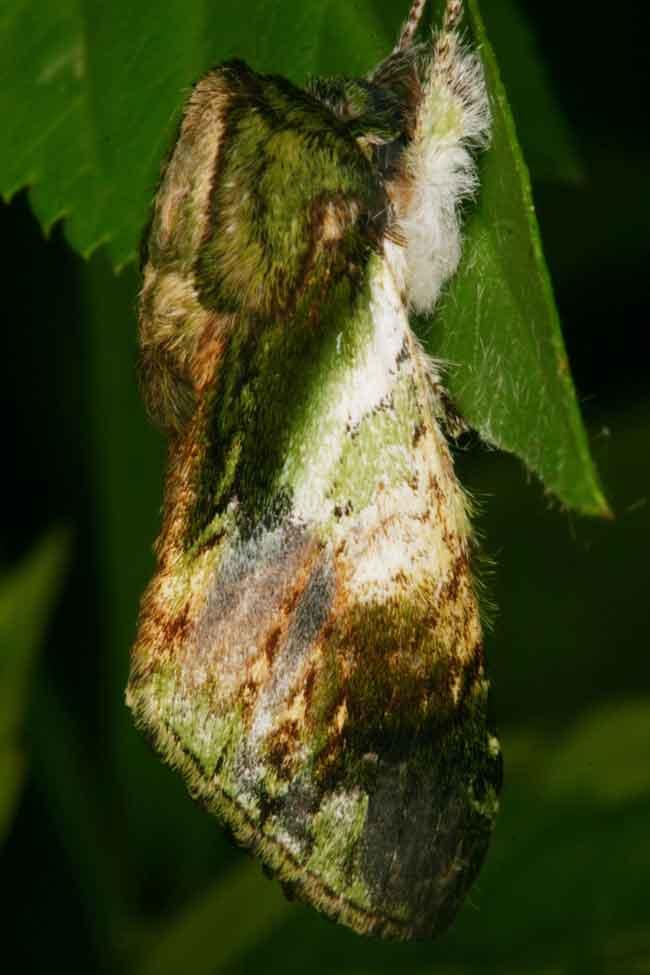 Notodontidae Pseudohoplitis vernalis