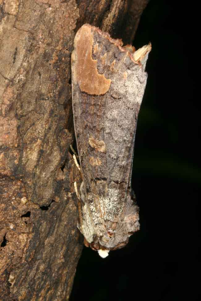 Phalera sp Notodontidae