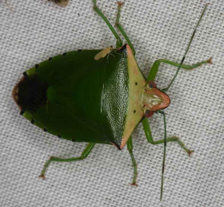 Piezodorus hybneri Pentatomidae