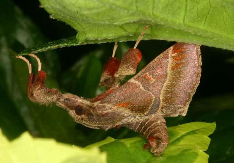 Sacada sp Pyralidae