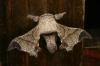 Bombycidae Bombyx huttoni