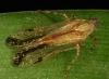 Cicadelidae