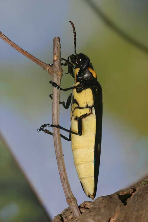 Megaloxantha bicolor assamensis