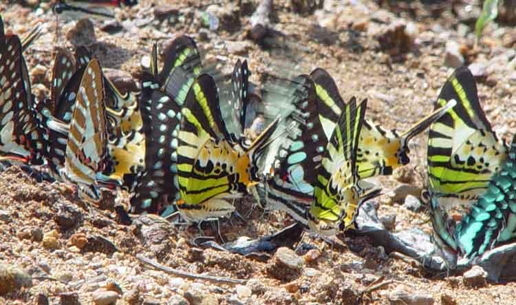 Papilio group