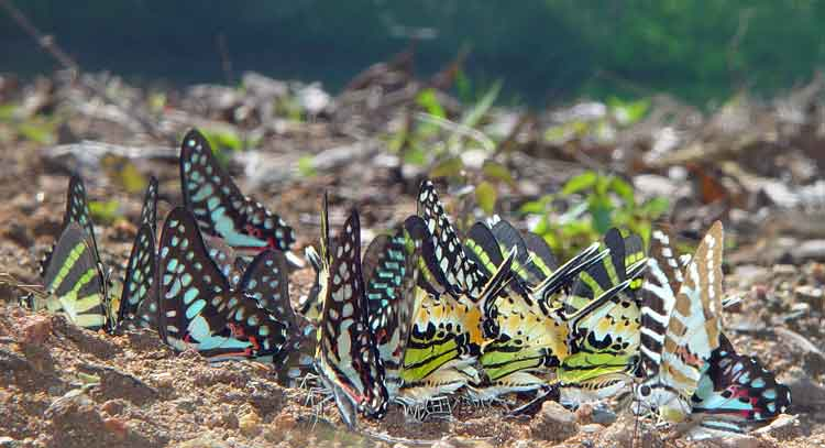 Papilio-group1