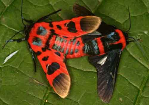 Glanycus tricolor and insolitus