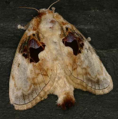 Limacodidae Chalcoscelides castaneipars