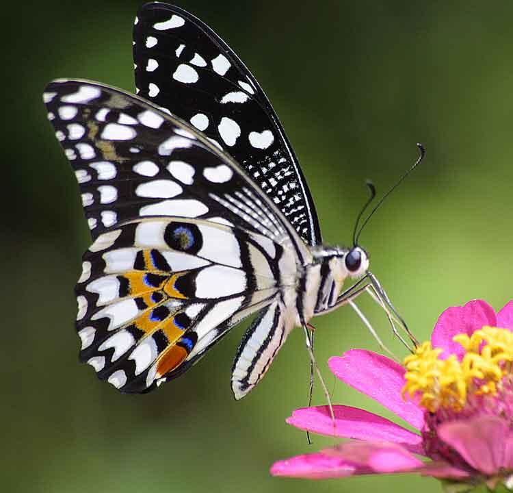 Papilio demoleus 3