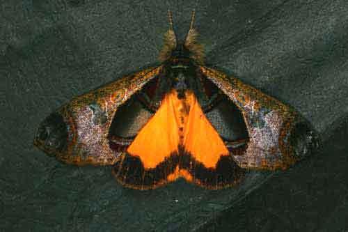 Sarbanissa longipennis 1