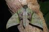 Callambulyx rubricosa