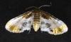 Thyrididae sp