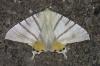 Ourapteryx stueningi