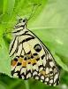 Papilio demoleus 1