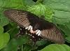 Papilio polytes f