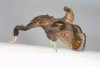 Sacada sp (Pyralinae)