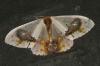 unidentified moth 2