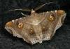 unidentified moth 4