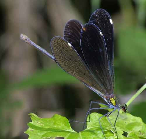 Matrona nigripectus  1