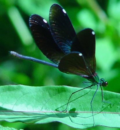 Matrona nigripectus  f