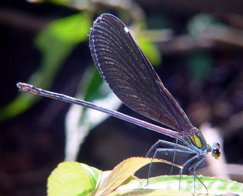 Matrona nigripectus  m