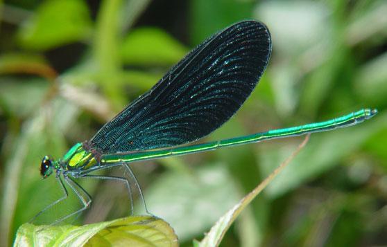 Matrona nigripectus  m 1