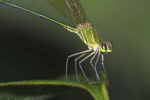 Vestalis gracilis 2