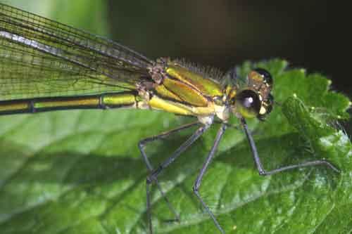 Vestalis gracilis 3